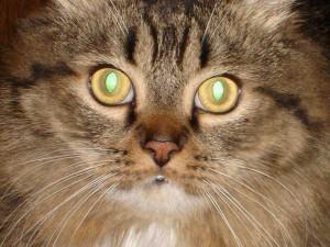 зрение кошки, интересные факты о кошках