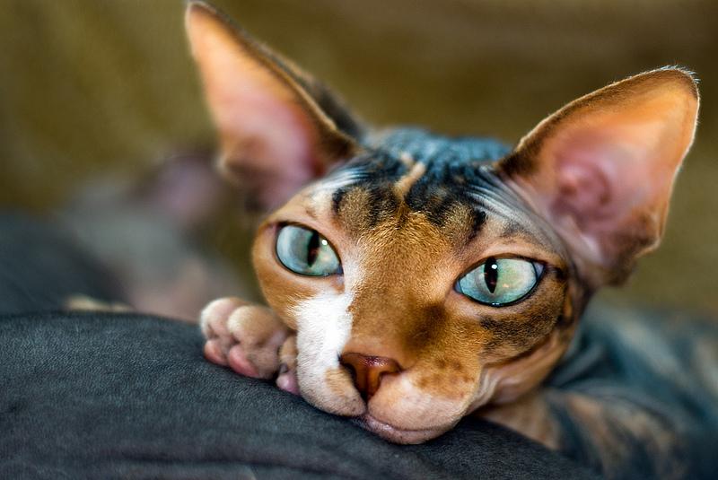 канадский сфинкс, лысые кошки, порода сфинкс