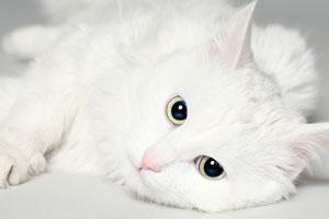 белая кошка, окрас кошки и характер