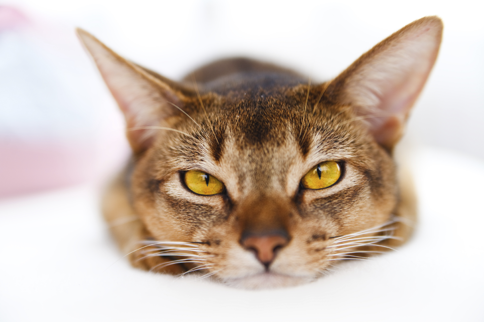 young Abyssinian cat lying on white couch on bright background