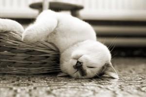 спящая кошка, сколько спит кошка