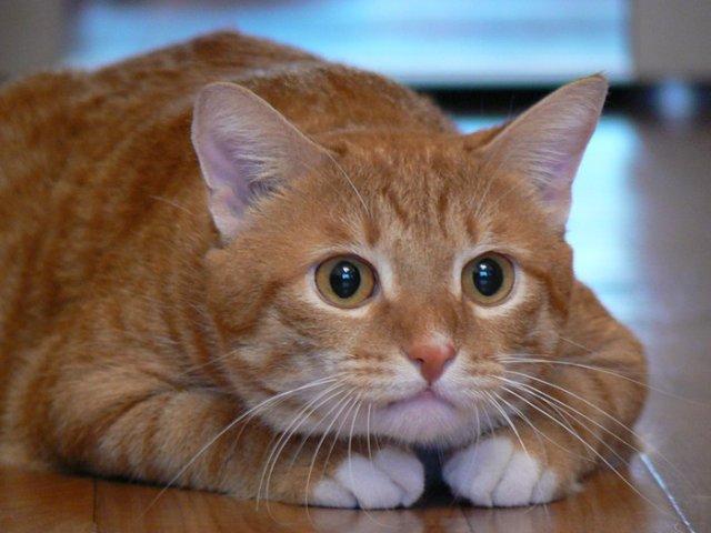 рыжая кошка, окрас кошек и характер