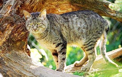 история кошек, степной кот
