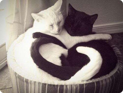 кошки, черная кошка, белая кошка