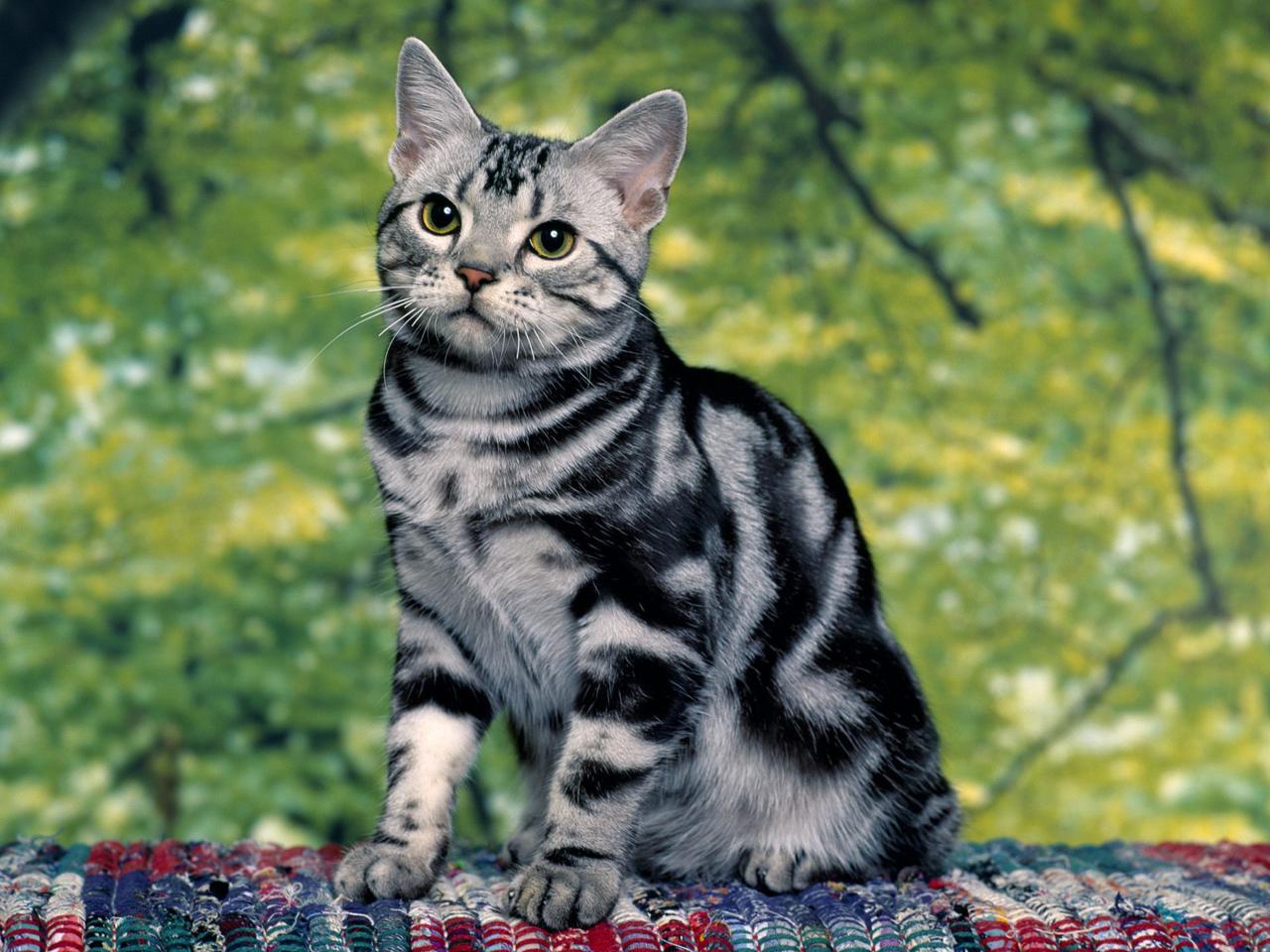 беспородные кошки, окрас кошек