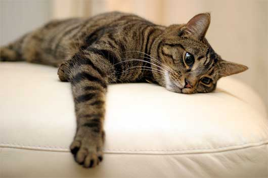 полосатая кошка, окрас кошки и характер