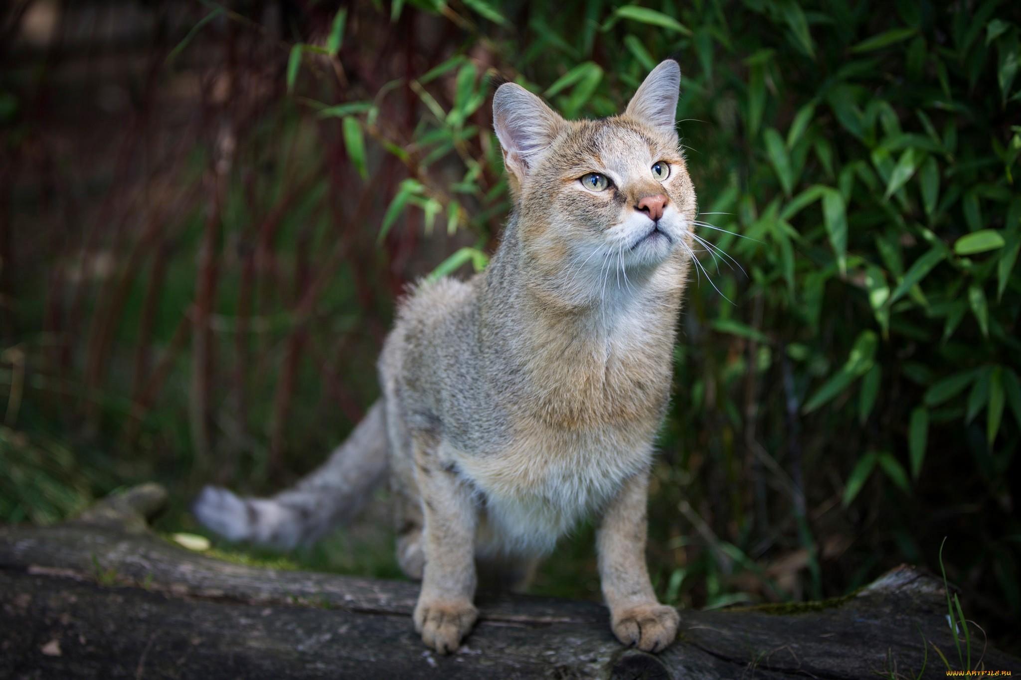 Камышовая кошка (чаузи)
