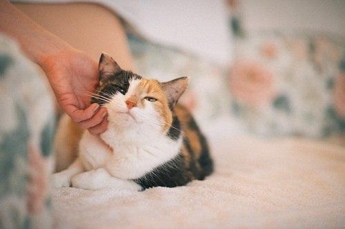 как и почему мурчат кошки, интерсные факты о кошках, домашние кошки