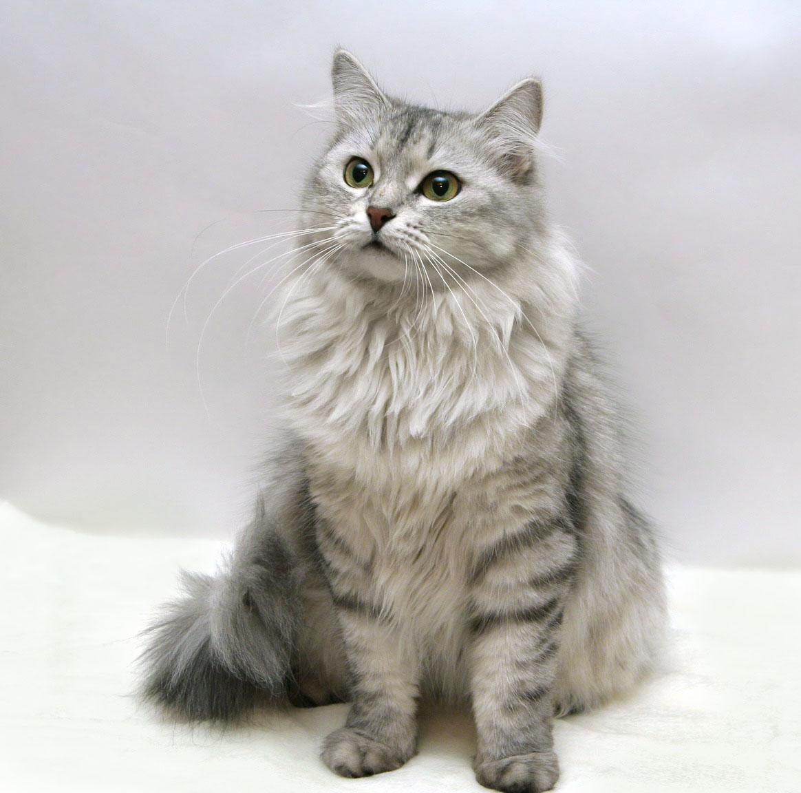 сибирская кошка, породы кошек, кошка