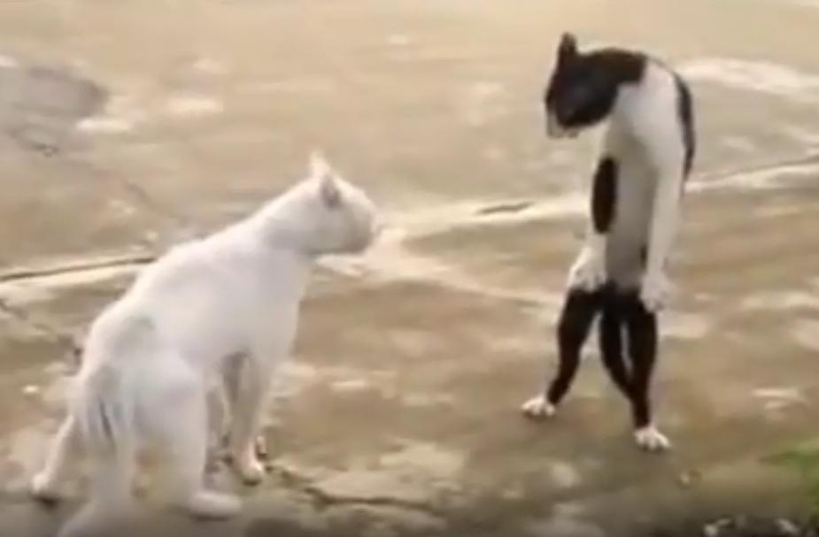 кот в боевой стойке видео, смешное видео про кошек