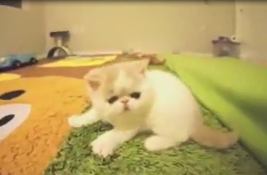 гавкающий котенок, смешные котята видео