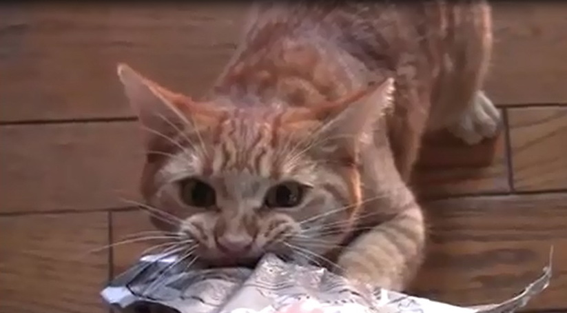 котан видео, смешные кошки