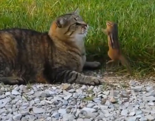 кот и бурундук видео, смешное видео, кошка