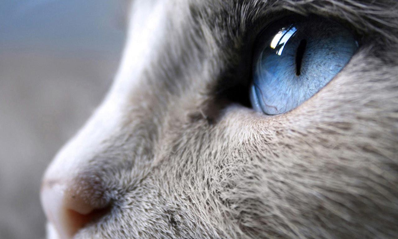 уход за кошкой глаза, как ухаживать за глазами кошки