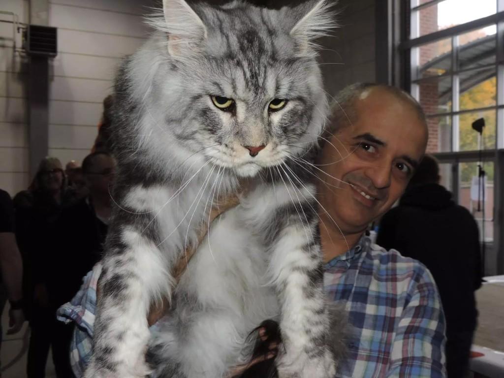 Самые крупные в мире породы кошек