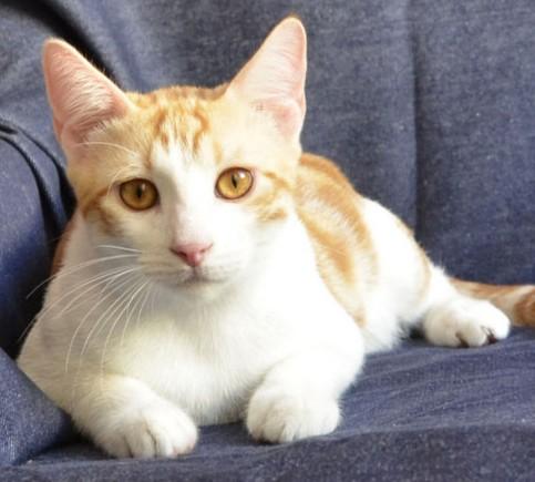 анатолийские кошки
