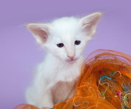 балийские котята фото