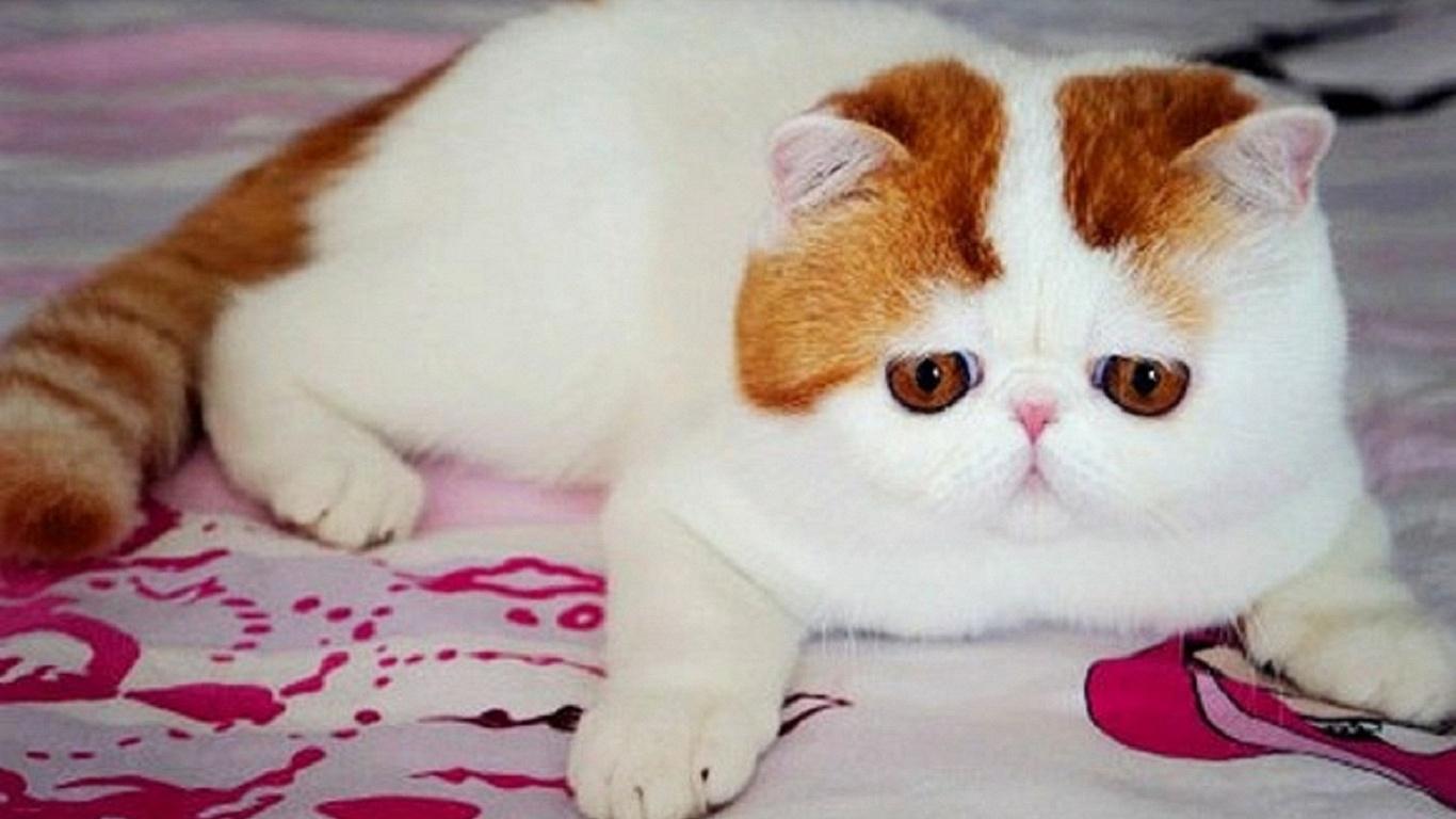 Маленькие очаровашки — кошки породы снупи