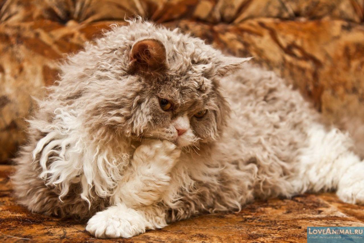 Селкирк рексы: кошки с кудряшками