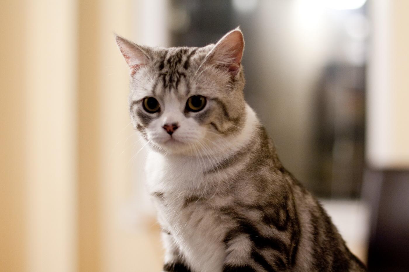 Скоттиш страйты — шотландские прямоухие кошки