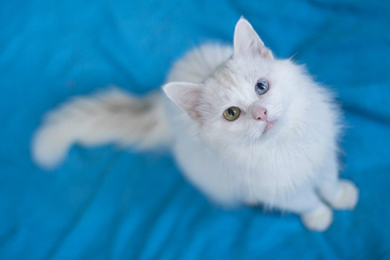 Кошки породы као мани