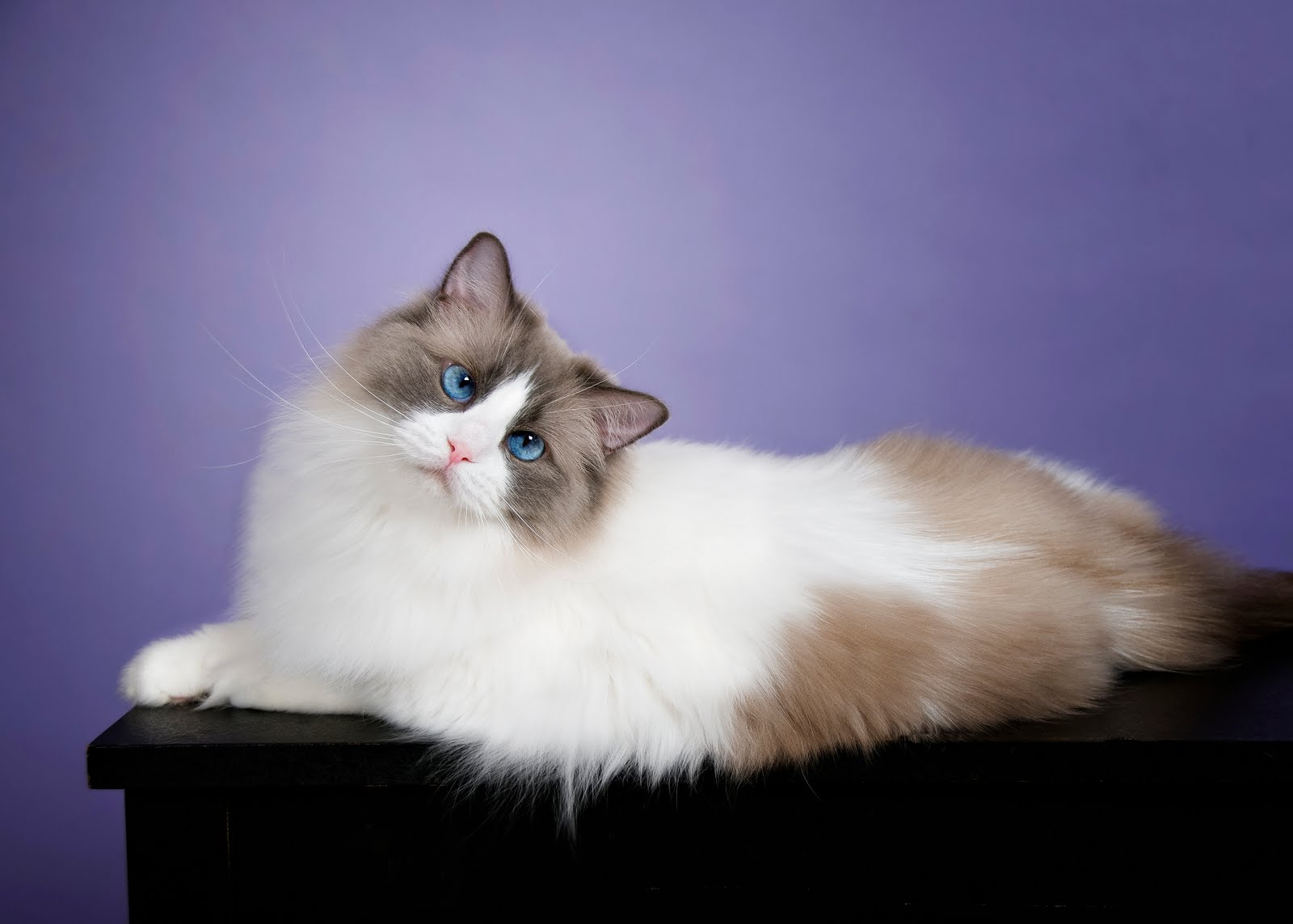 Кошки породы рэгдолл