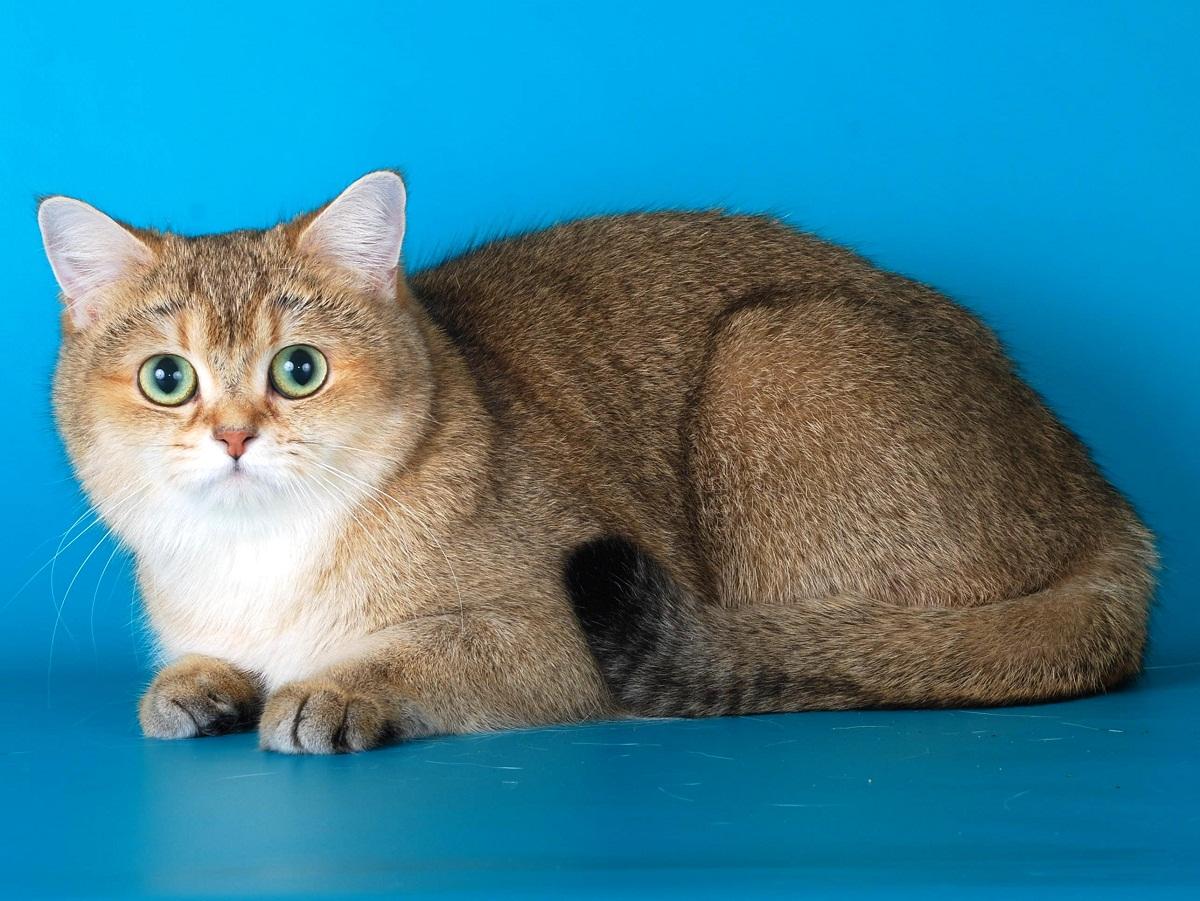 Кошки породы золотая шиншилла