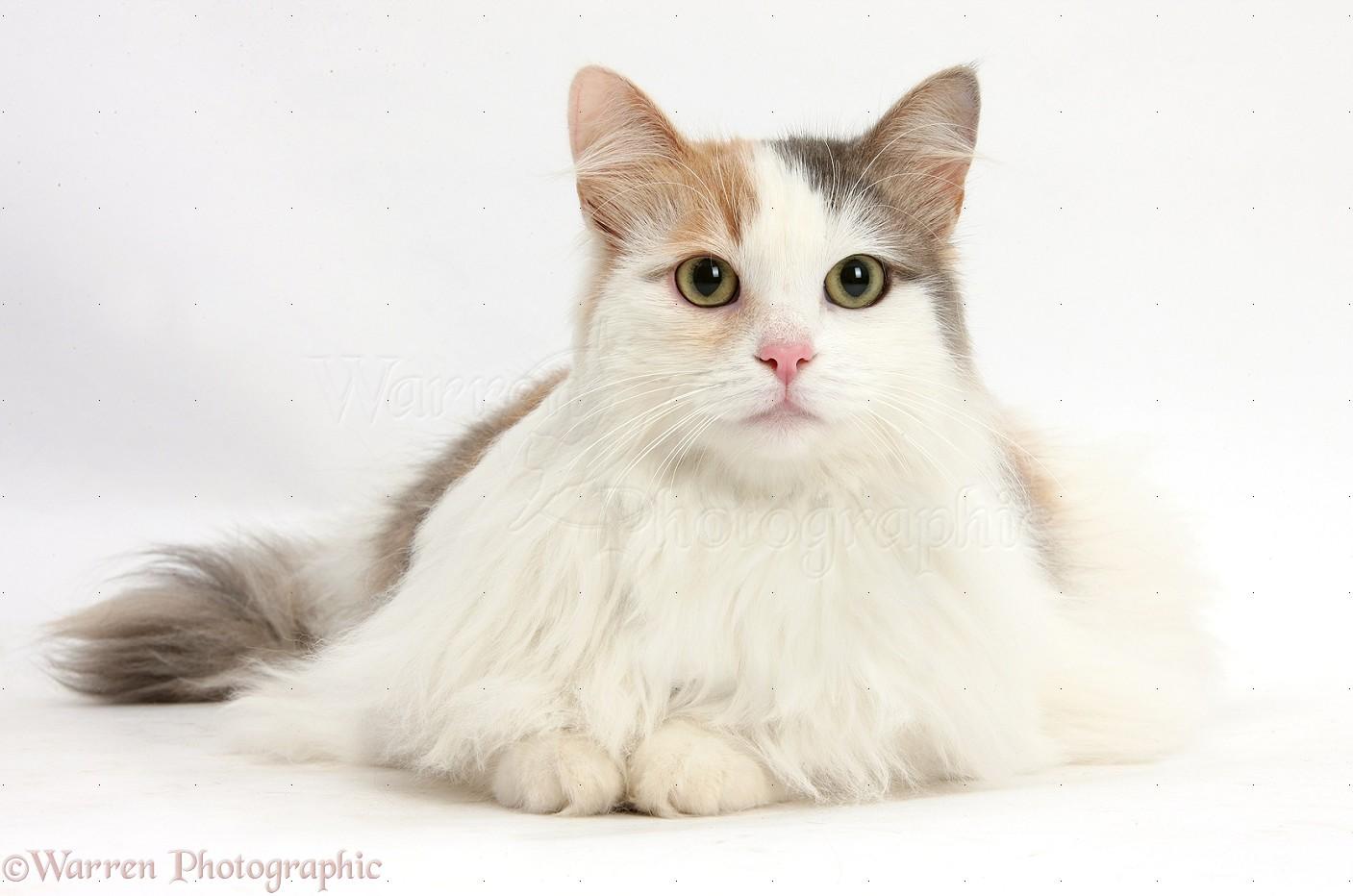Кошки породы турецкий ван