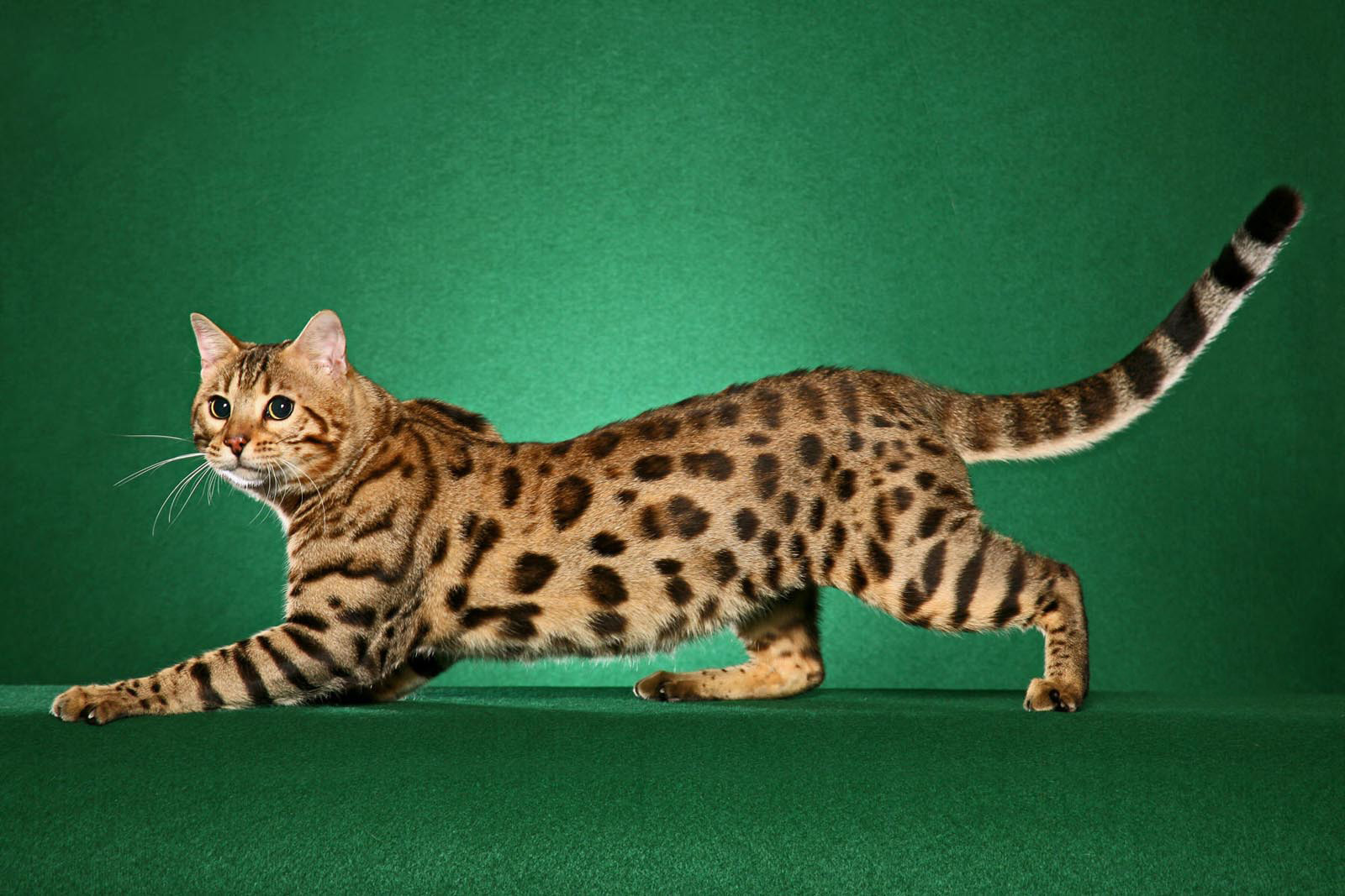 Кошки леопардового окраса