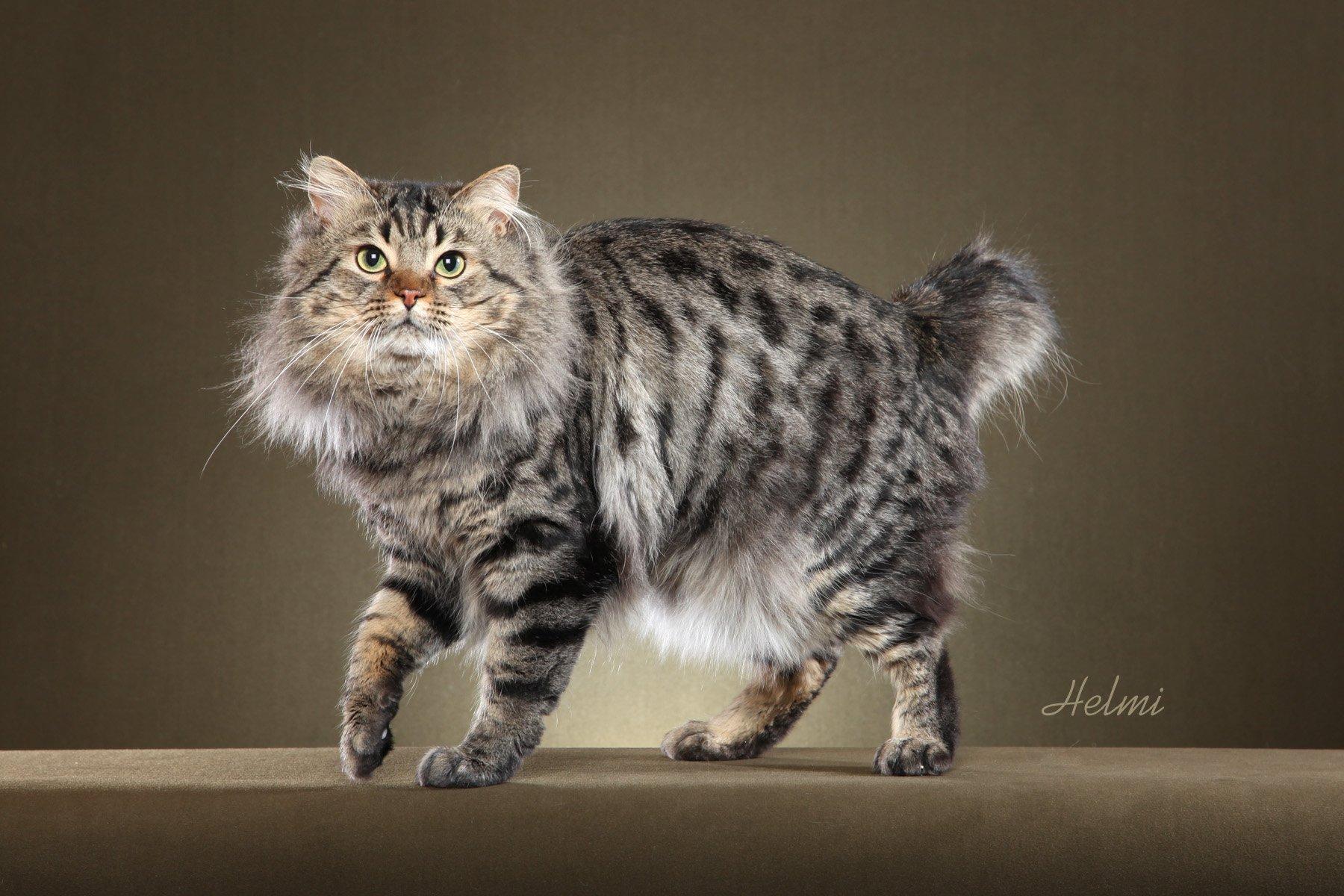 Кошка бобтейл: как появилась кошка без хвоста?