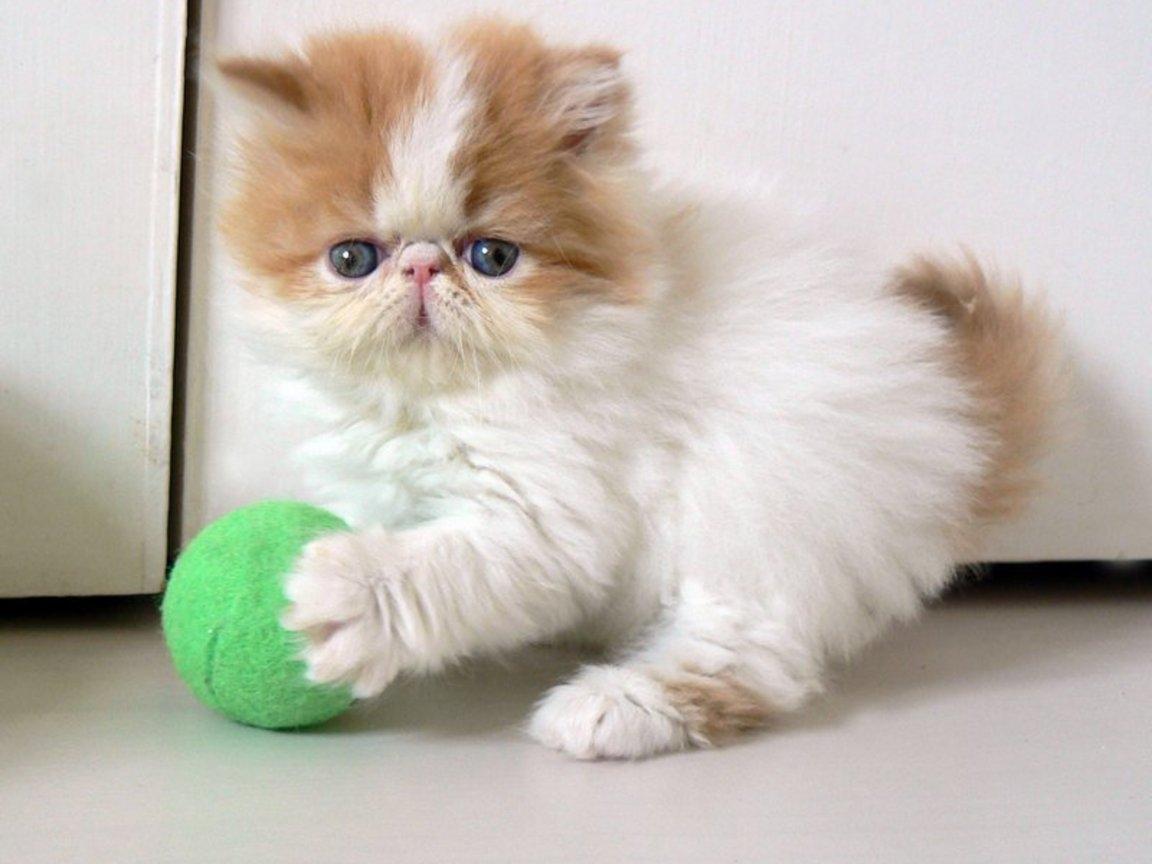 Породы кошек для маленьких детей