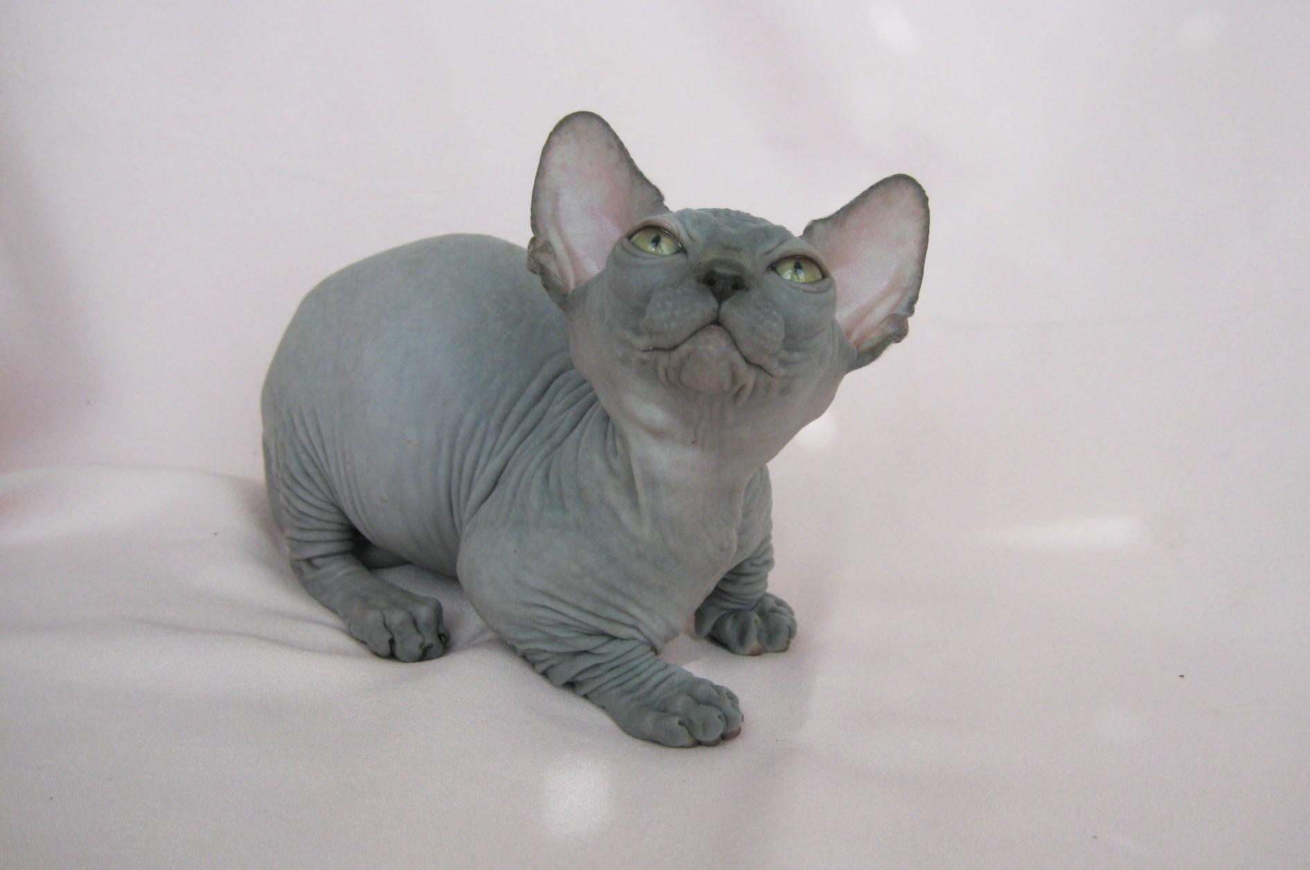 Лысые породы кошек — как выбрать питомца с загадочной внешностью?