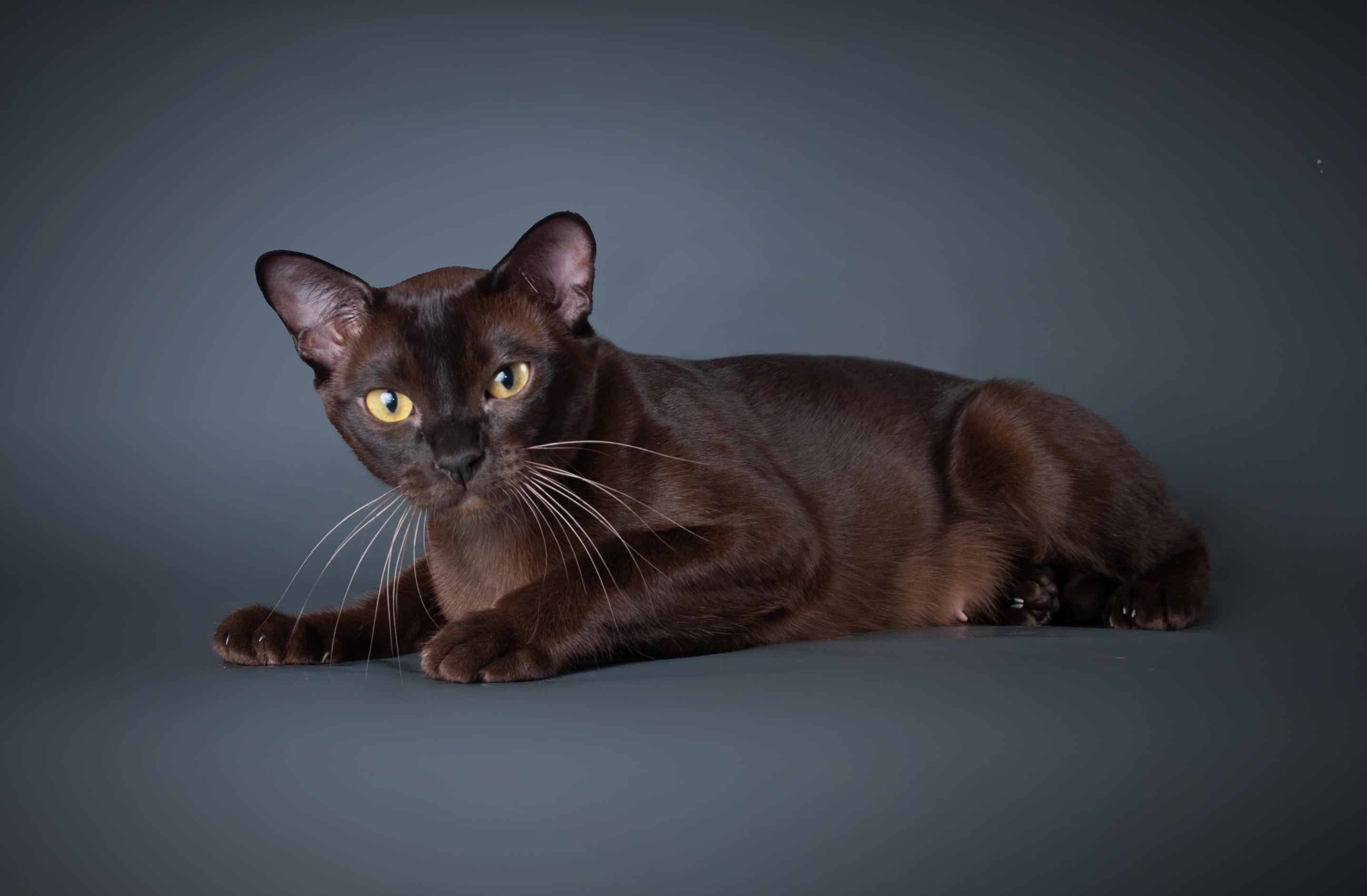 Кошка породы бурманская