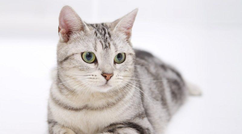 Симптомы и лечение пиометры у кошек