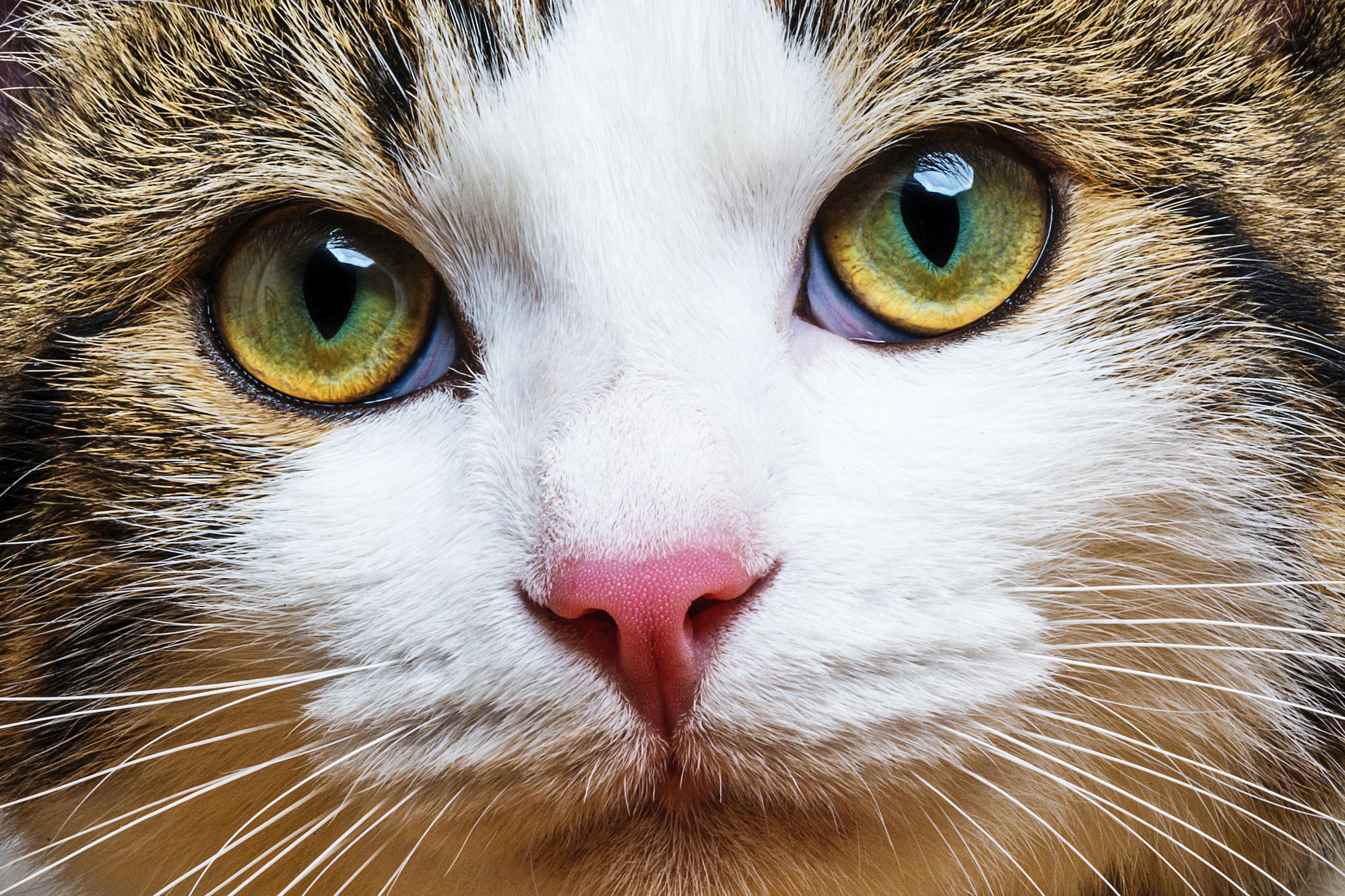 Белая плёнка на глазах у кошки: что это, как лечить, 6 фото, видео