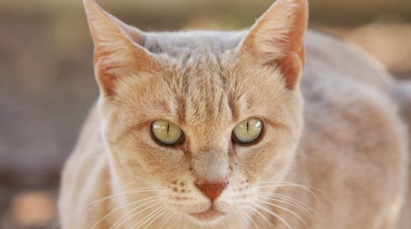 Лечение бельма на глазу у кошки