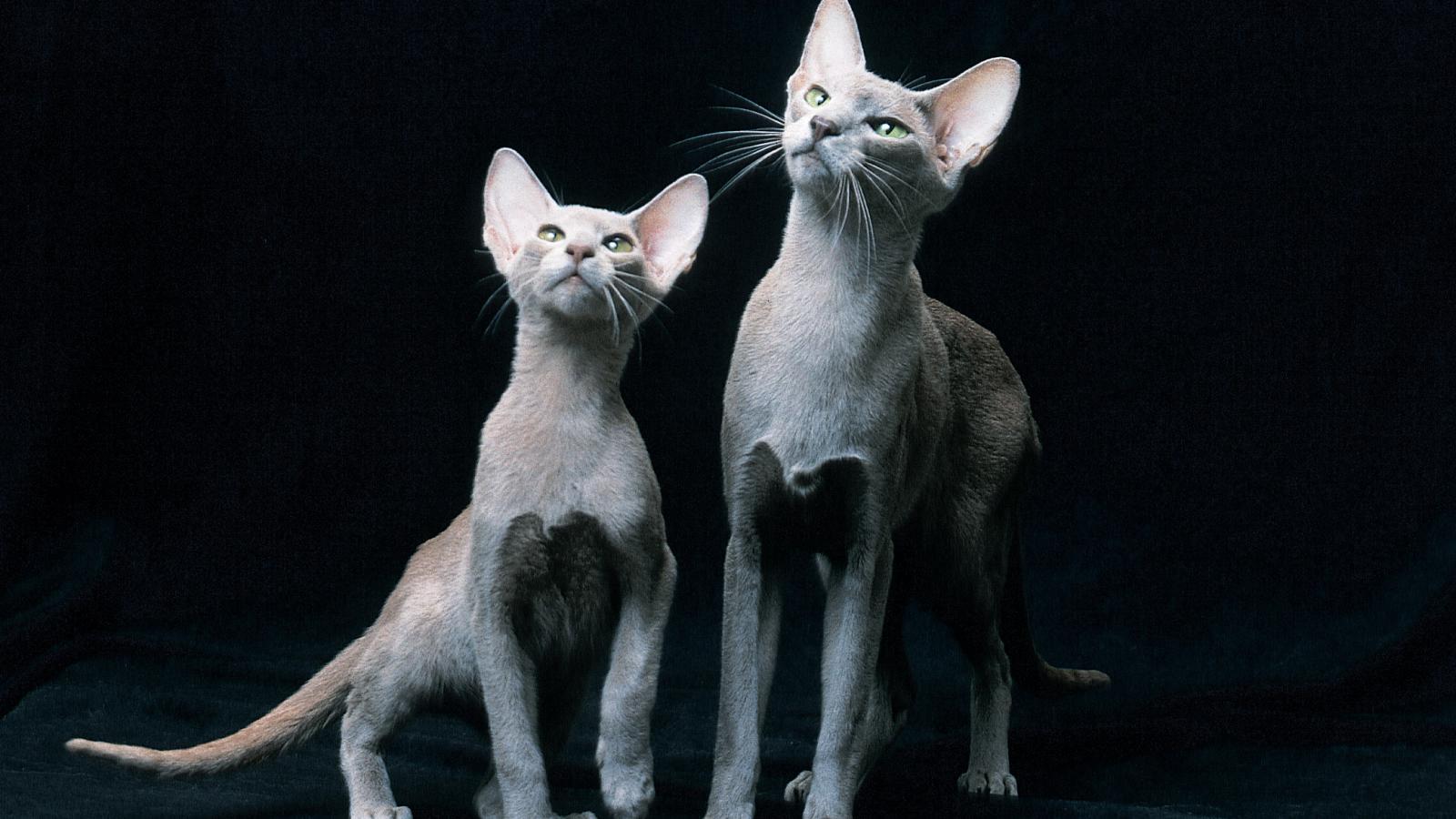 Великолепное разнообразие кошачьих пород не может оставить никого равнодушным!